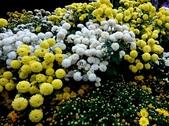 菊科植物:13121杭菊.jpg