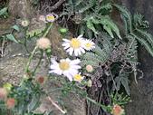 菊科植物:P2130798