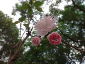 普賢象櫻 -- 落葉喬木:DSC07109.JPG