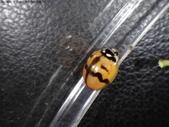 復旦-新天母公園的昆蟲107/1:DSC00083六條瓢蟲(雄)  (斑紋變異).JPG