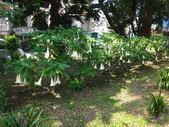 復旦三月花朵:DSC02747大花曼陀羅.JPG