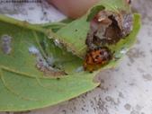 黑點捲葉象鼻蟲的卵苞搖籃:DSC07969.JPG