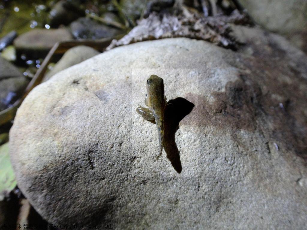 體色多變的褐樹蛙家族(蝌蚪~幼蛙~成蛙):DSC04369.JPG