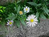 菊科植物:馬蘭