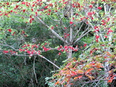 大雪山植物花草:IMG_8629山桐子結滿紅果子.JPG