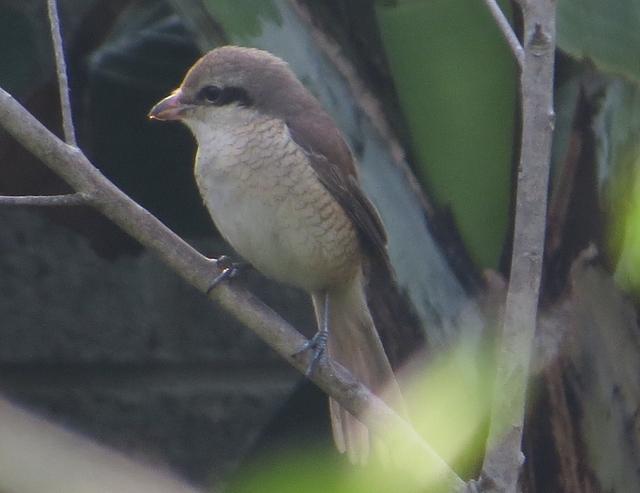 鳥類集錦:紅尾伯勞雌鳥