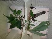 樟葉蓑蛾幼蟲~蛹與蠕狀母蛾現身:DSC04824.JPG