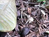 野生菇蕈天地 970810/971026日本北海道:P2220816 Lepiota sp. 環柄菇屬