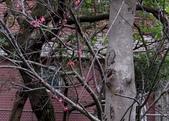 新天母公園侯鳥-樹鷚:IMG_9480二隻樹鷚.jpg