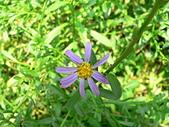 菊科植物:狗娃花花朵