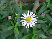 菊科植物:P2110343