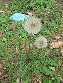 菊科植物:三朵西洋蒲公英瘦果冠毛