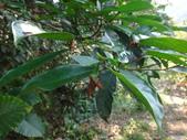 雙溪-老農夫生態農莊及虎豹潭的昆蟲:DSC04152九節木-棕長頸捲葉象鼻蟲卵苞.JPG