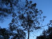大雪山植物花草:IMG_8684山桐子.JPG