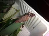 樟葉蓑蛾幼蟲~蛹與蠕狀母蛾現身:DSC02025蓑蛾幼蟲露臉.JPG