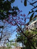 復旦三月花朵:DSC02572山櫻花.JPG
