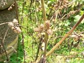 菊科植物:P2140795