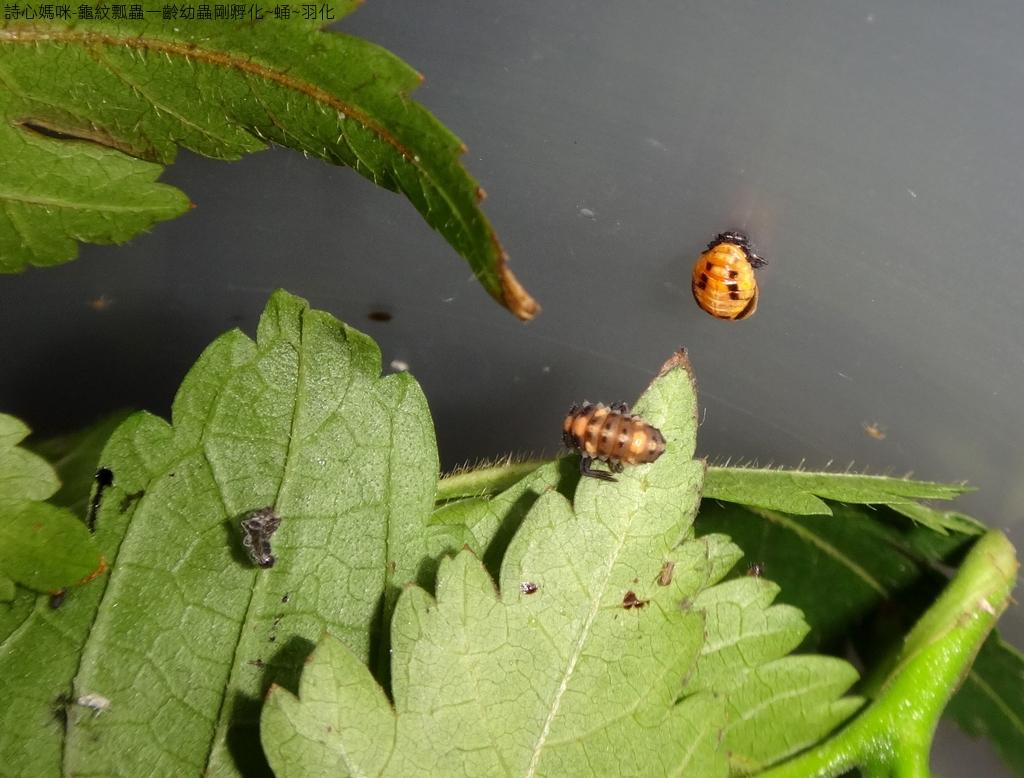 龜紋瓢蟲一齡幼蟲剛孵化~蛹~羽化:DSC05596龜紋瓢蟲蛹和前蛹.JPG