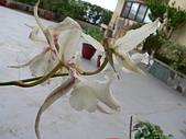 蘭花專輯:P2460357