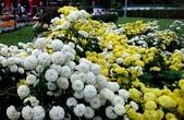 菊科植物:13120杭菊.jpg