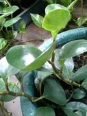 老友台北家盆栽植物:13820鈍葉椒草.jpg