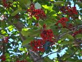 文化公園(原復旦公園)賞櫻花與小紅果:DSC01777鳥類喜食紅熟果實.JPG
