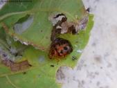 黑點捲葉象鼻蟲的卵苞搖籃:DSC07968.JPG