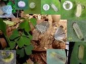 藍灰蝶(沖繩小灰蝶)的一生:沖繩小灰蝶求偶延續後代.jpg