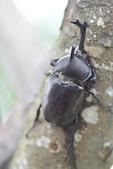 鞘翅目 金龜子:DSC00211
