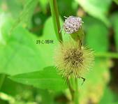 菊科植物:貓腥草淡紫花與瘦果冠毛
