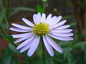 菊科植物:馬蘭二種花蕊