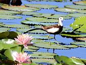 凌波仙子(菱角鳥)雛鳥&成鳥:IMG_6577菱角鳥成鳥.jpg