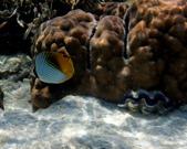 馬爾地夫-印度洋的淺海生物:P7120456a.jpg