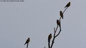 復旦社區稀有冬侯鳥-金翅雀:N74A4467.JPG