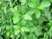 草本類植物:P2110042