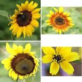 菊科植物:菊科植物集錦相簿封面