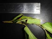 朴樹葉苞搖籃內活一生的黑點捲葉象鼻蟲幼蟲~成蟲:DSC00833葉苞長約2公分.JPG
