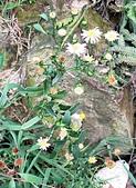 菊科植物:臺灣狗娃花