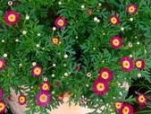 復旦社區園藝花種:DSC03207瑪格麗特之正紅糖果.jpg