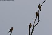 復旦社區稀有冬侯鳥-金翅雀:N74A4471.JPG