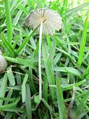 野生菇蕈天地 970810/971026日本北海道:P2200319 藍褐色傘菇-摺紋鬼傘蕈摺