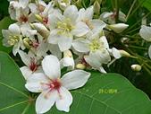 驚豔的花朵(白色系):油桐花