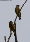 復旦社區稀有冬侯鳥-金翅雀:N74A4471a.jpg