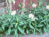 菊科植物:P2110342