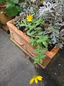 菊科植物:DSC00642短毛金雞菊.JPG