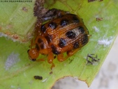黑點捲葉象鼻蟲的卵苞搖籃:DSC07968黑點捲葉象鼻蟲.jpg