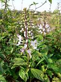 草本類植物:貓鬚草飛舞的花朵
