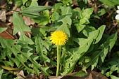 菊科植物:DSC07190