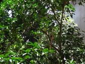 後院種25年的柚子樹首次結果:DSC00516.JPG