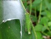 雙溪-老農夫生態農莊及虎豹潭的昆蟲:DSC03919台灣稻蝗若蟲.jpg